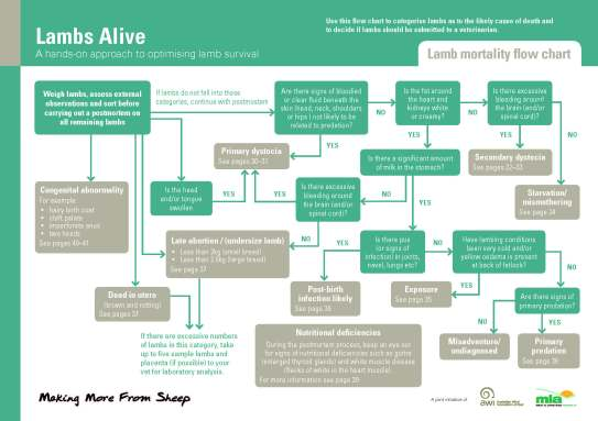 Lambs Alive Flow Chart